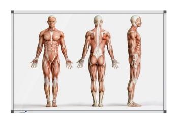 Legamaster 7-101143 Premium Board Human Anatomy - Standing - 60 x 90 cm